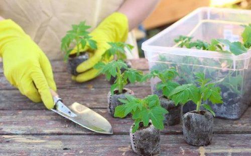 рассада дорогих и редких растений